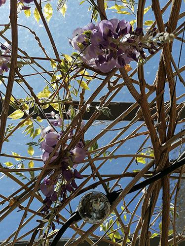 Glycine de la tonnelle en fleurs